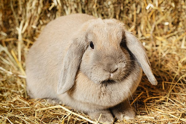 Obesity in Rabbits - Symptoms, Causes, Diagnosis, Treatment, Recovery, Management, Cost