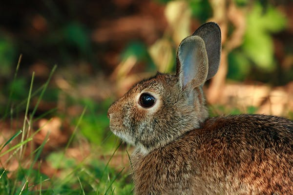 Otitis Media or Interna in Rabbits - Symptoms, Causes, Diagnosis, Treatment, Recovery, Management, Cost