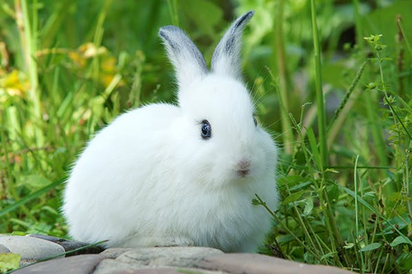 Painful Urination in Rabbits - Symptoms, Causes, Diagnosis, Treatment, Recovery, Management, Cost