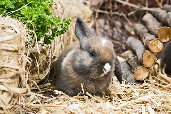 Papillomatosis in Rabbits - Symptoms, Causes, Diagnosis, Treatment, Recovery, Management, Cost
