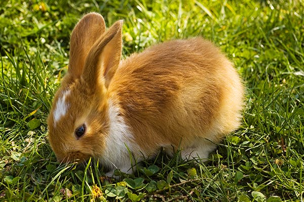 Parasitic Infection (E  cuniculi) in Rabbits - Symptoms