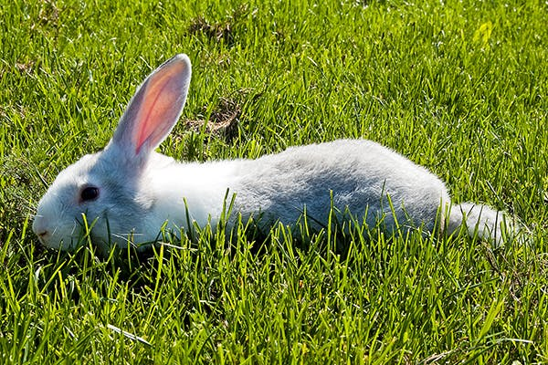 Partial or Complete Loss of Muscle Control in Rabbits - Symptoms, Causes, Diagnosis, Treatment, Recovery, Management, Cost