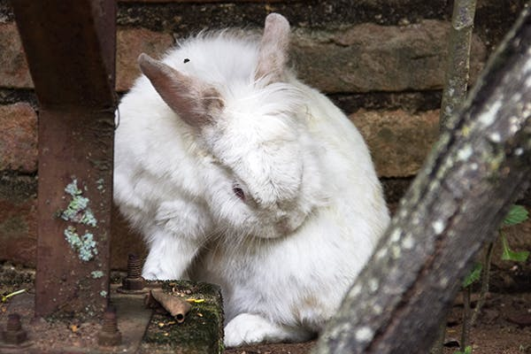 Pinworms in Rabbits - Symptoms, Causes, Diagnosis, Treatment