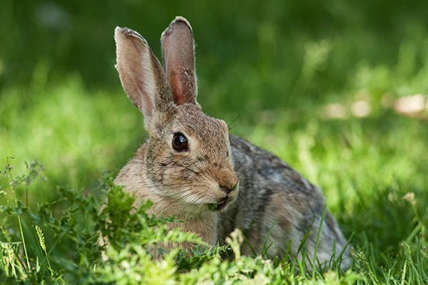 Pneumonia in Rabbits - Symptoms, Causes, Diagnosis, Treatment, Recovery, Management, Cost