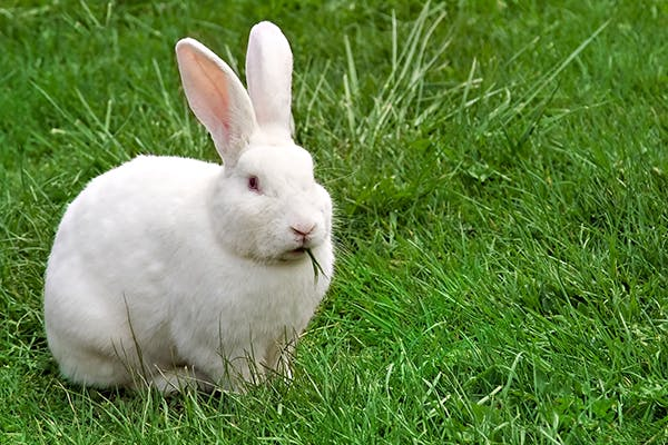 Poisoning In Rabbits Symptoms Causes Diagnosis
