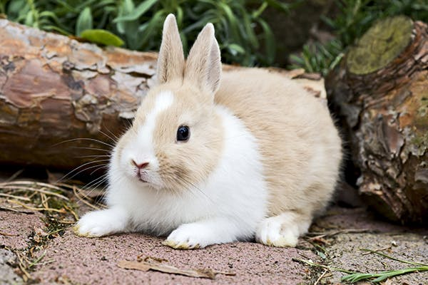 Rabbitpox in Rabbits - Symptoms, Causes, Diagnosis, Treatment, Recovery, Management, Cost