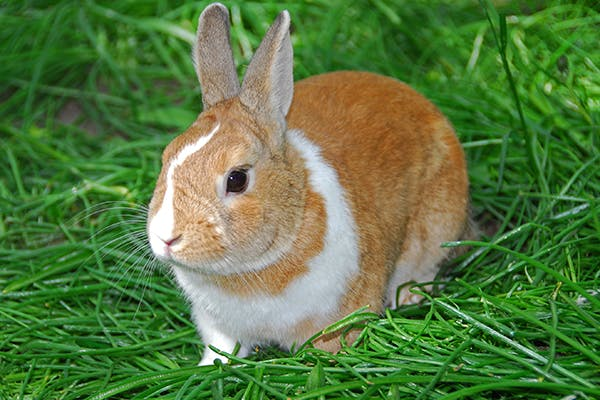 Rabies in Rabbits - Symptoms, Causes, Diagnosis, Treatment, Recovery, Management, Cost