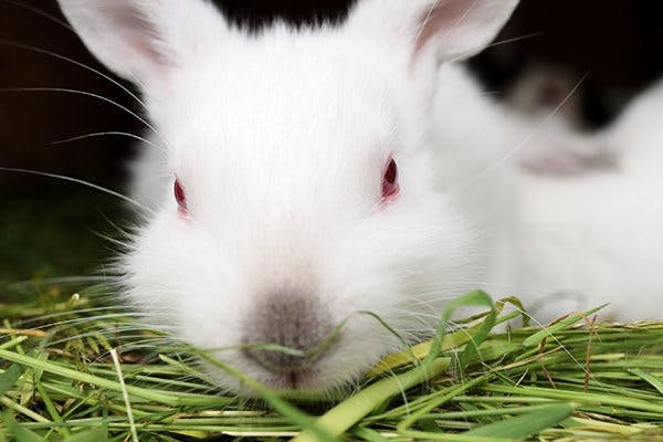Red Eye in Rabbits - Symptoms, Causes, Diagnosis, Treatment