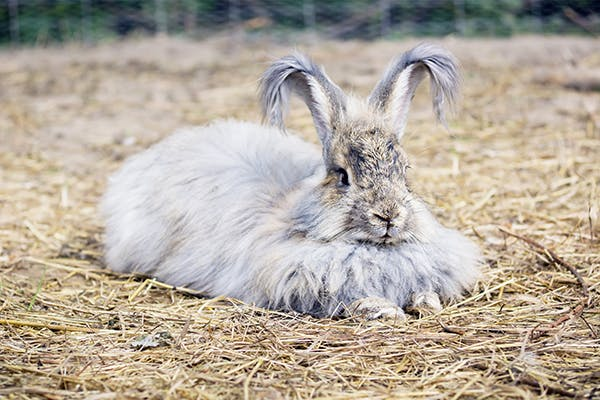 Respiratory Bacterial Infection in Rabbits - Symptoms, Causes, Diagnosis, Treatment, Recovery, Management, Cost