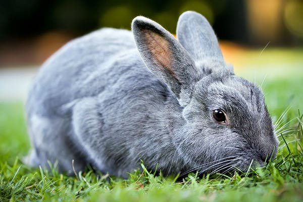 Ringworm in Rabbits - Symptoms, Causes, Diagnosis, Treatment