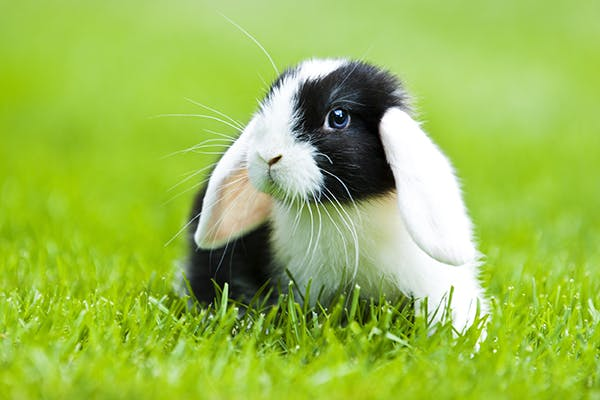 Rotaviral Infection in Rabbits - Symptoms, Causes, Diagnosis, Treatment, Recovery, Management, Cost