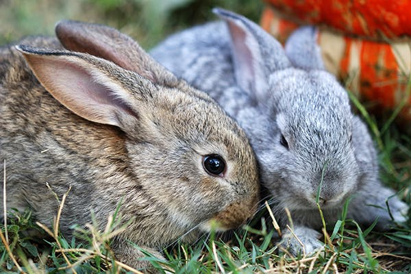 Sexually Transmitted Bacterial Infections in Rabbits - Symptoms, Causes, Diagnosis, Treatment, Recovery, Management, Cost