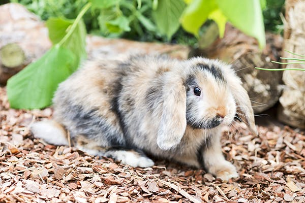 Shope Fibroma Virus in Rabbits - Symptoms, Causes, Diagnosis, Treatment, Recovery, Management, Cost