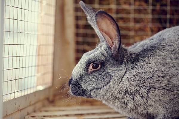 Sinus Infection in Rabbits - Symptoms, Causes, Diagnosis, Treatment, Recovery, Management, Cost
