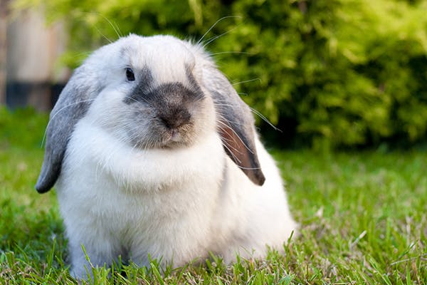 Snoring and Nasal Obstruction in Rabbits - Symptoms, Causes, Diagnosis, Treatment, Recovery, Management, Cost