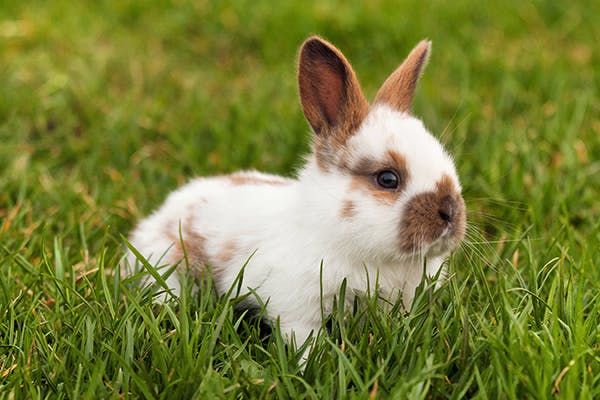 Snuffles (Pasteurellosis) in Rabbits - Symptoms, Causes, Diagnosis, Treatment, Recovery, Management, Cost