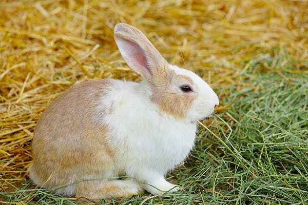Spinal Column Disorder in Rabbits - Symptoms, Causes, Diagnosis, Treatment, Recovery, Management, Cost