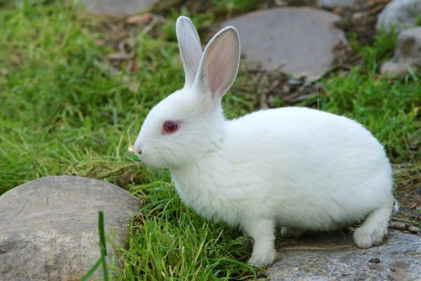 Tyzzer's Disease in Rabbits - Symptoms, Causes, Diagnosis, Treatment, Recovery, Management, Cost
