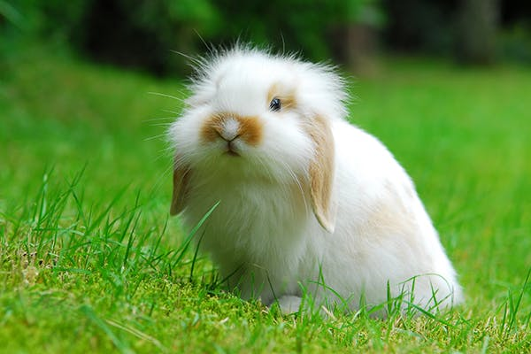 Urinary Blockage in Rabbits - Symptoms, Causes, Diagnosis, Treatment, Recovery, Management, Cost