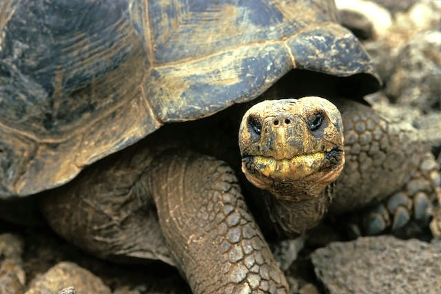 Abnormal Beak and Skull Growth in Turtles - Symptoms, Causes, Diagnosis, Treatment, Recovery, Management, Cost
