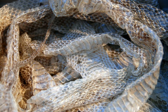 Abnormal Skin Shedding in Snakes - Symptoms, Causes, Diagnosis, Treatment, Recovery, Management, Cost