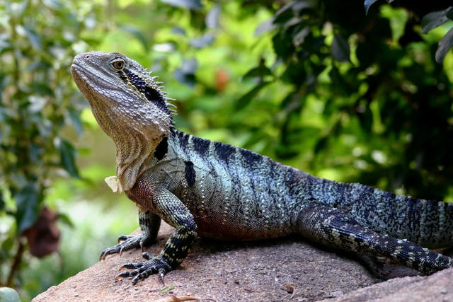 Abscesses in Lizards - Symptoms, Causes, Diagnosis, Treatment, Recovery, Management, Cost