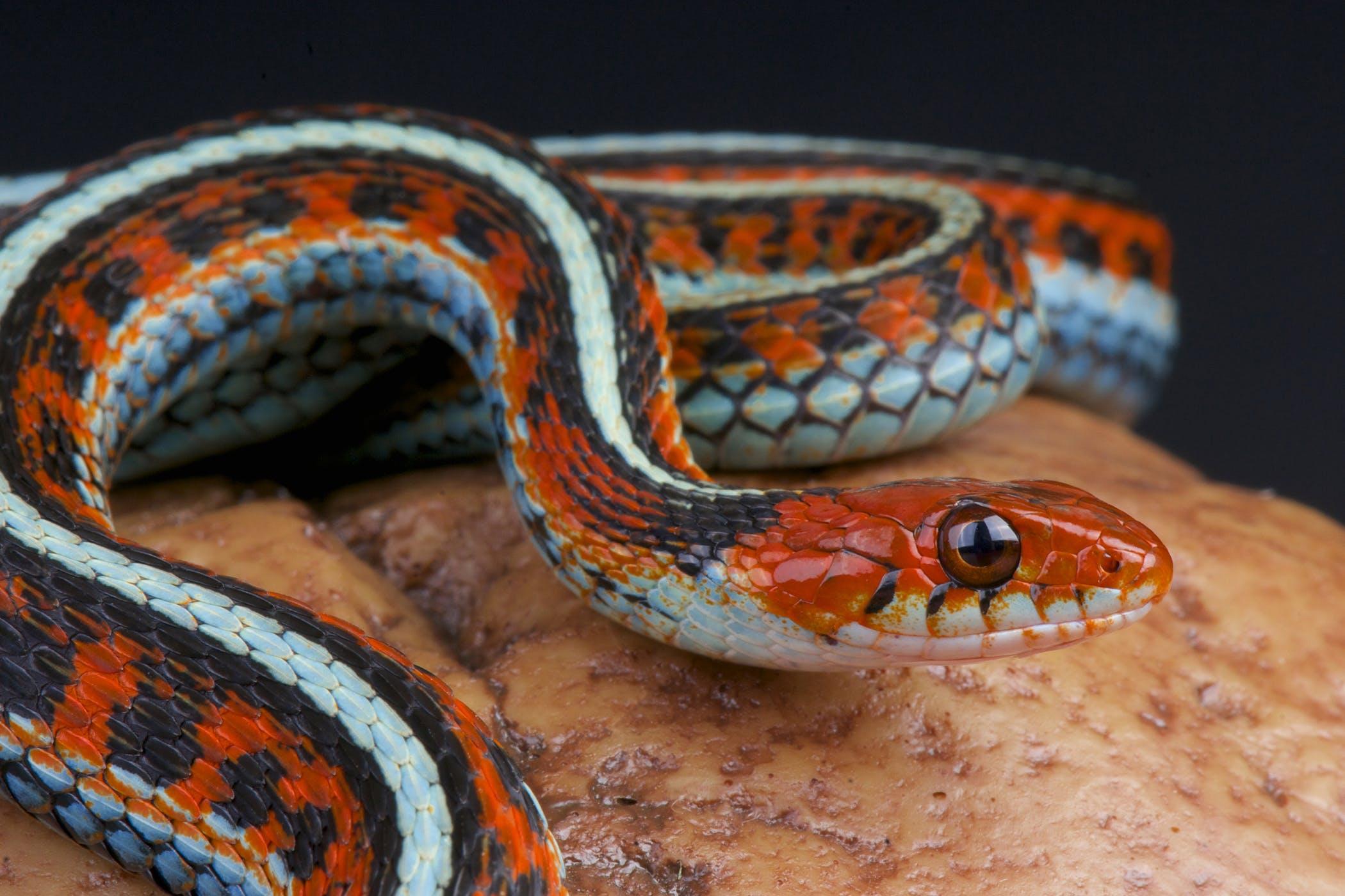 Adenoviruses in Reptiles - Symptoms, Causes, Diagnosis ...