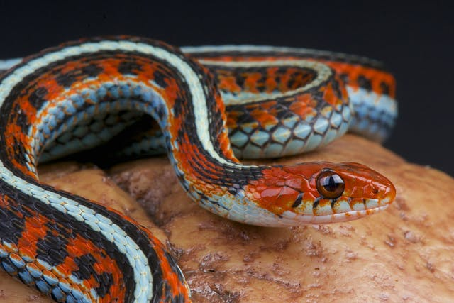 Adenoviruses in Snakes - Symptoms, Causes, Diagnosis, Treatment, Recovery, Management, Cost