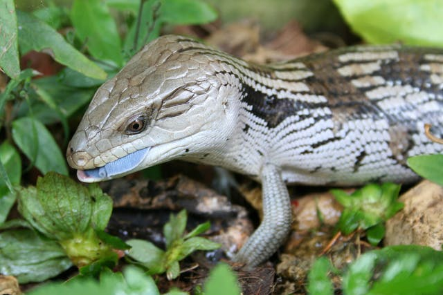 Aggression in Lizards - Symptoms, Causes, Diagnosis, Treatment, Recovery, Management, Cost