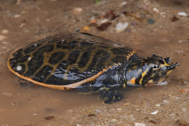 Bacteria in the Blood in Turtles - Symptoms, Causes, Diagnosis, Treatment, Recovery, Management, Cost
