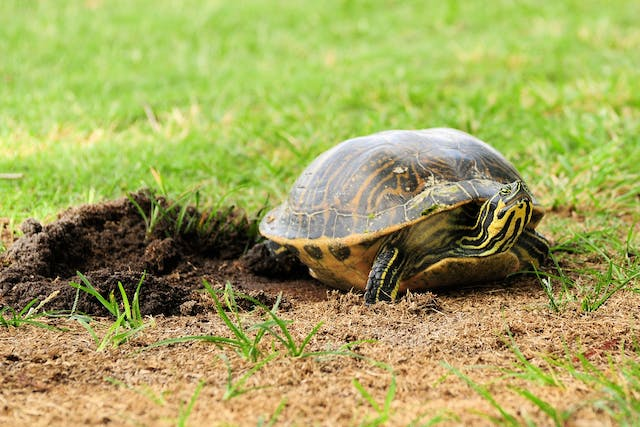 Dystocia (Egg Retention) in Turtles - Symptoms, Causes, Diagnosis, Treatment, Recovery, Management, Cost