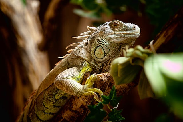 Fatty Liver Disease in Lizards - Symptoms, Causes, Diagnosis, Treatment, Recovery, Management, Cost