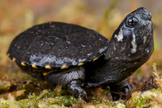 Herpes Viruses in Turtles - Symptoms, Causes, Diagnosis, Treatment, Recovery, Management, Cost