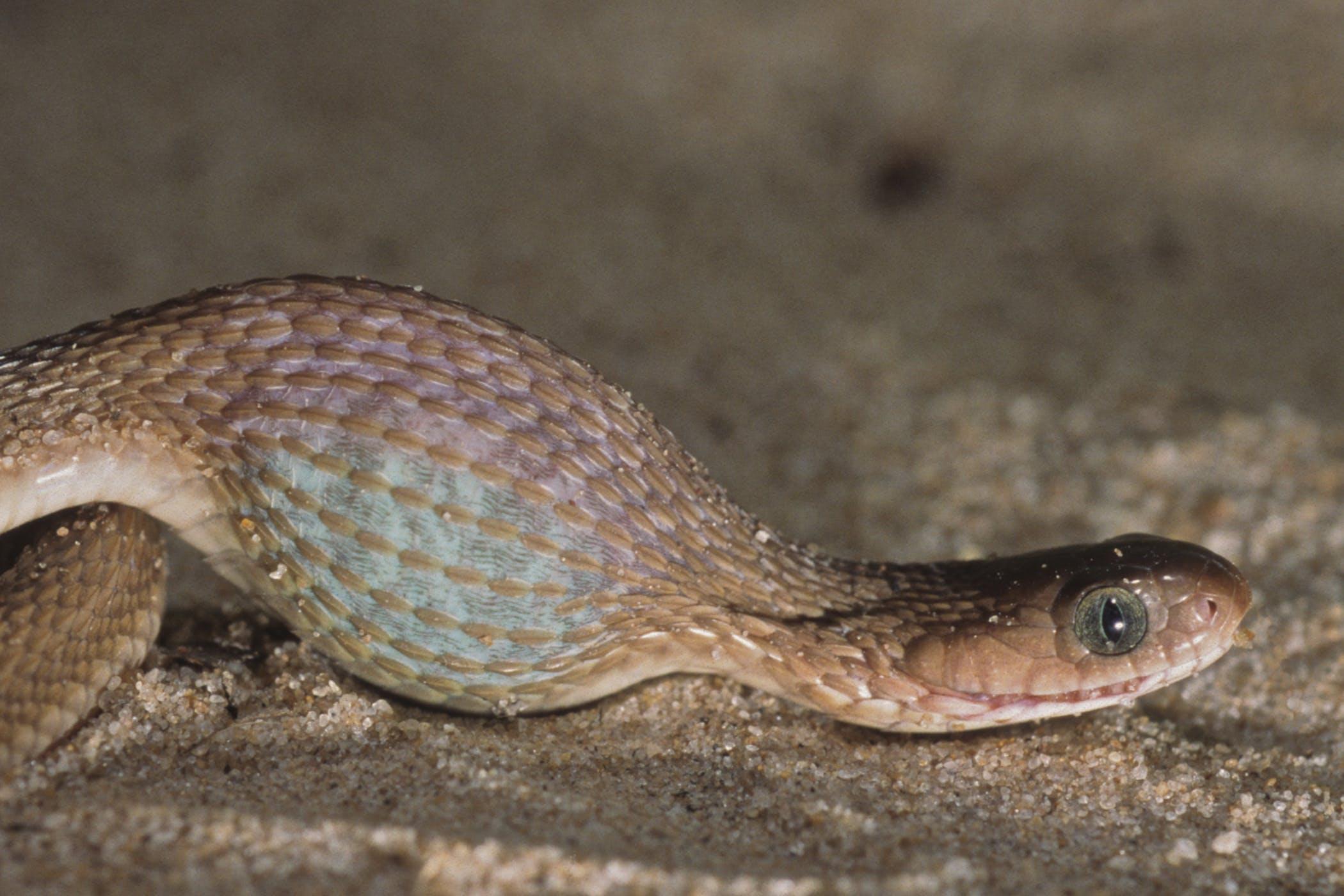 ibd snakes