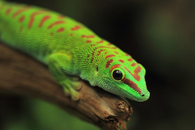 Infectious Stomatitis in Lizards - Symptoms, Causes, Diagnosis, Treatment, Recovery, Management, Cost