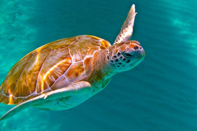 Internal Abscesses in Turtles - Symptoms, Causes, Diagnosis, Treatment, Recovery, Management, Cost
