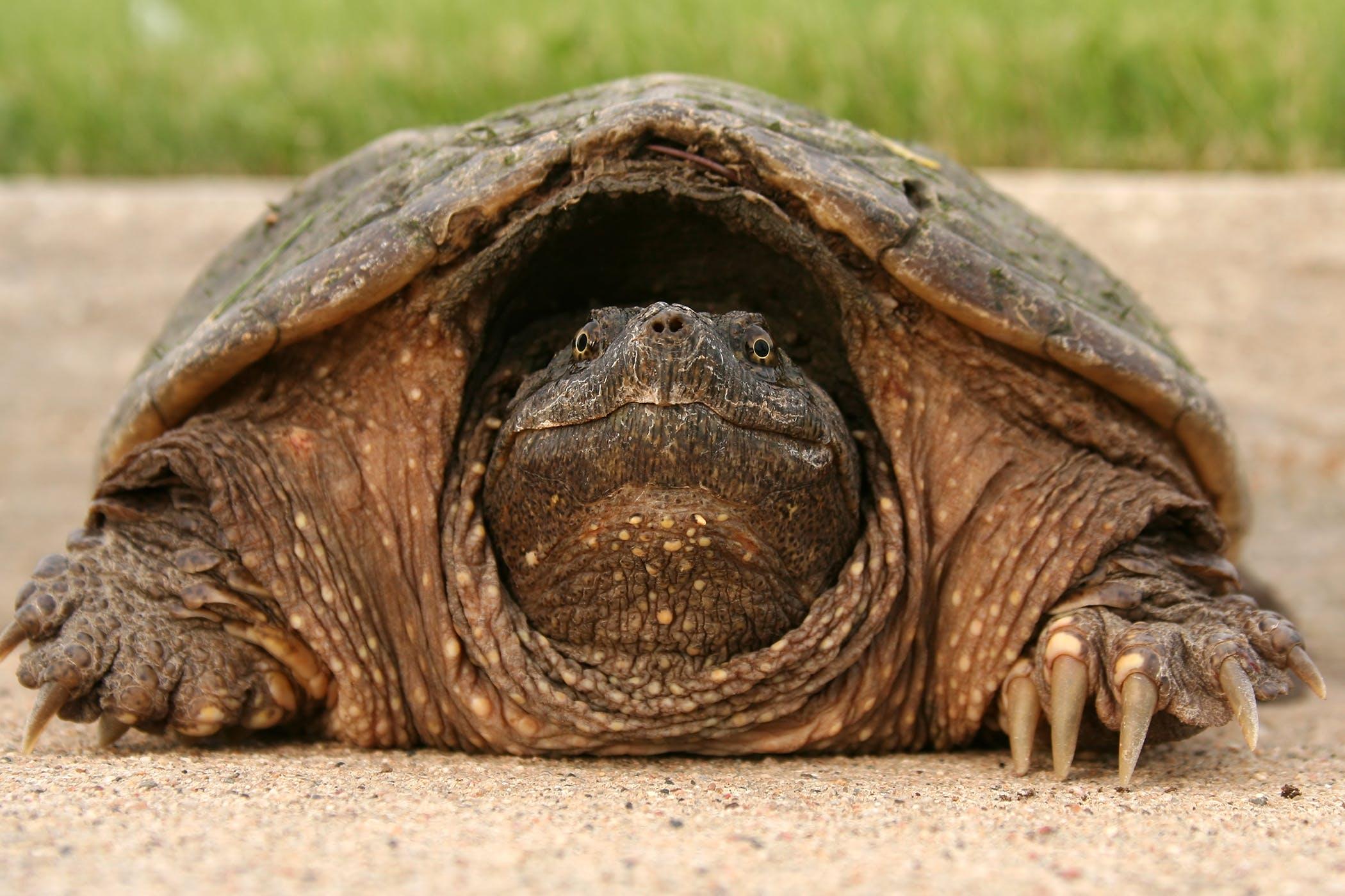 Mycoplasmosis in Reptiles - Symptoms, Causes, Diagnosis