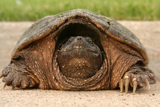 Mycoplasmosis in Turtles - Symptoms, Causes, Diagnosis, Treatment, Recovery, Management, Cost