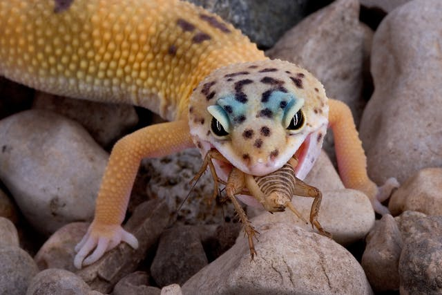 Oral Inflammation (Mouth Rot) in Lizards - Symptoms, Causes, Diagnosis, Treatment, Recovery, Management, Cost