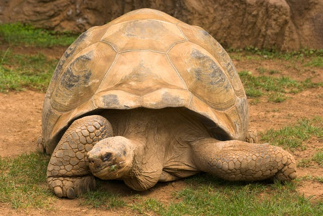 Otitis in Turtles - Symptoms, Causes, Diagnosis, Treatment, Recovery, Management, Cost