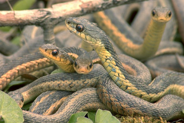 Paramyxovirus in Snakes - Symptoms, Causes, Diagnosis, Treatment, Recovery, Management, Cost