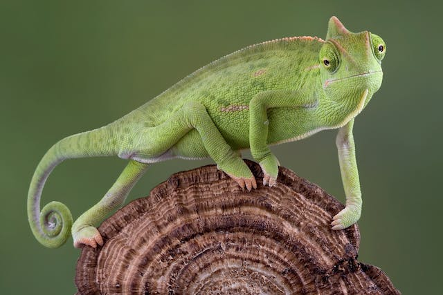 Protozoal Diseases in Lizards - Symptoms, Causes, Diagnosis, Treatment, Recovery, Management, Cost