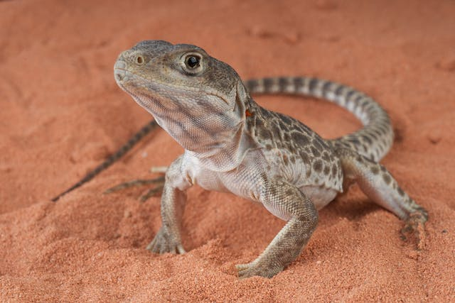 Ulcerative or Necrotic Dermatitis in Lizards - Symptoms, Causes, Diagnosis, Treatment, Recovery, Management, Cost