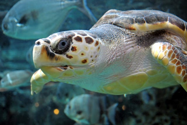 Vent Prolapse in Turtles - Symptoms, Causes, Diagnosis, Treatment, Recovery, Management, Cost