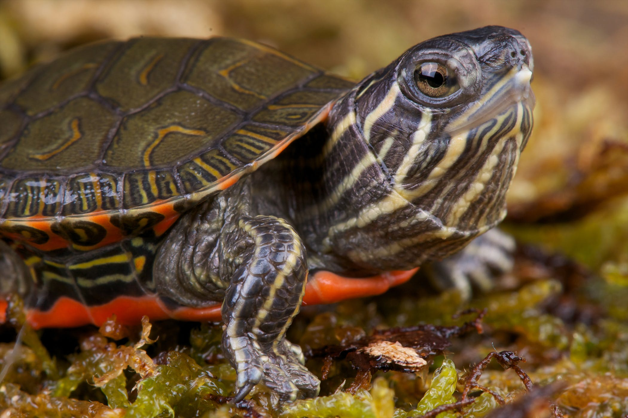 Diseases of red-eared turtles: symptoms and treatment (photo) 20