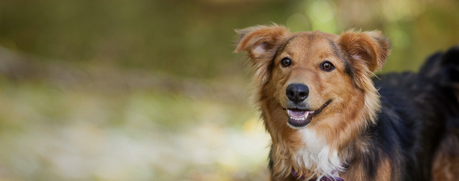 Shel Aussie Dog Breed Facts And