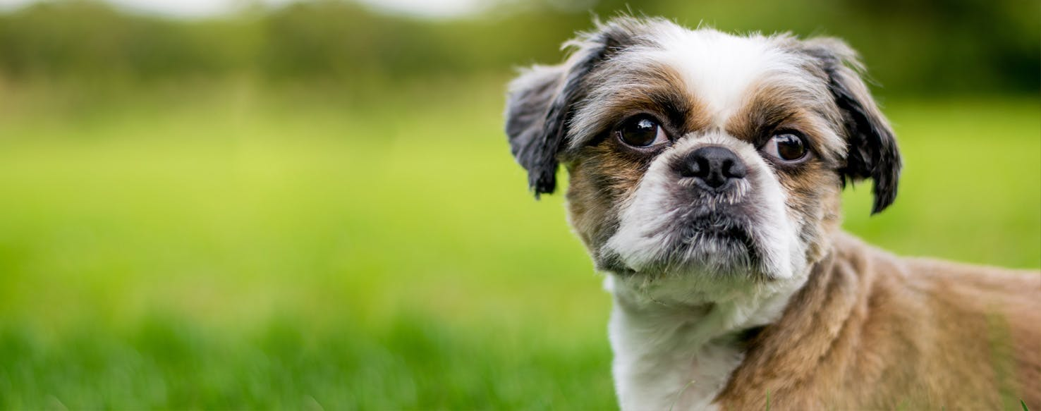 Zuchon | Dog Breed Facts and Information - Wag! Dog Walking