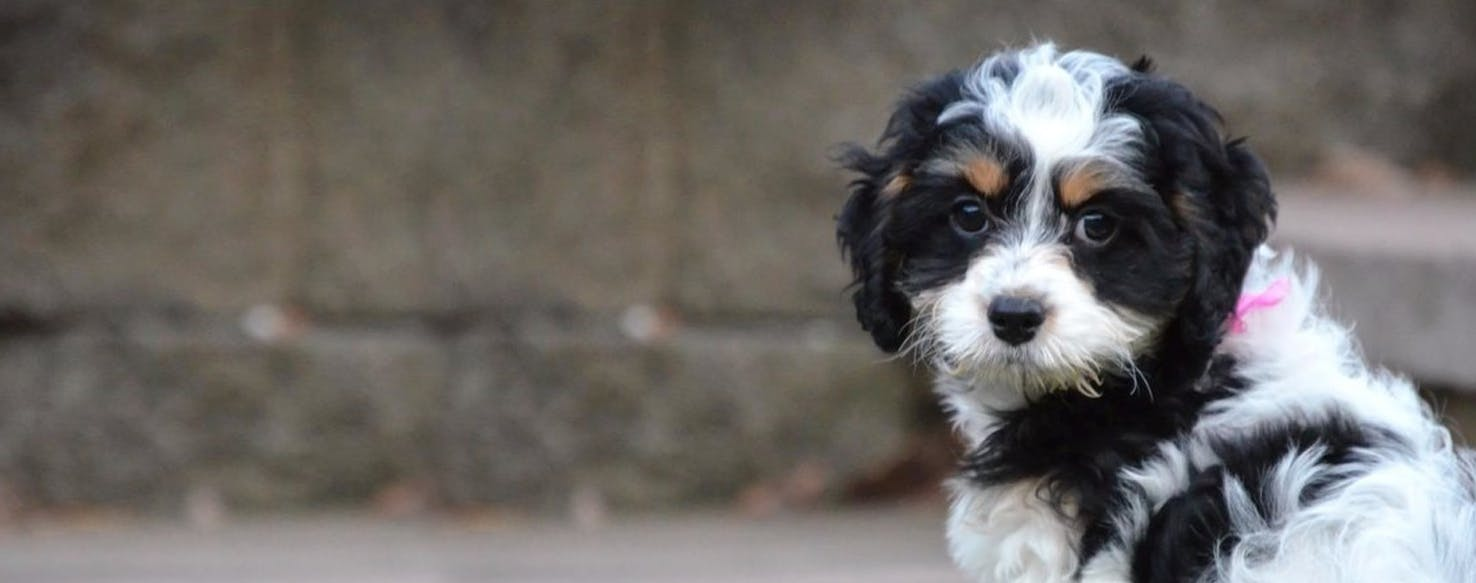 Springerdoodle | Dog Breed Facts and Information - Wag! Dog Walking