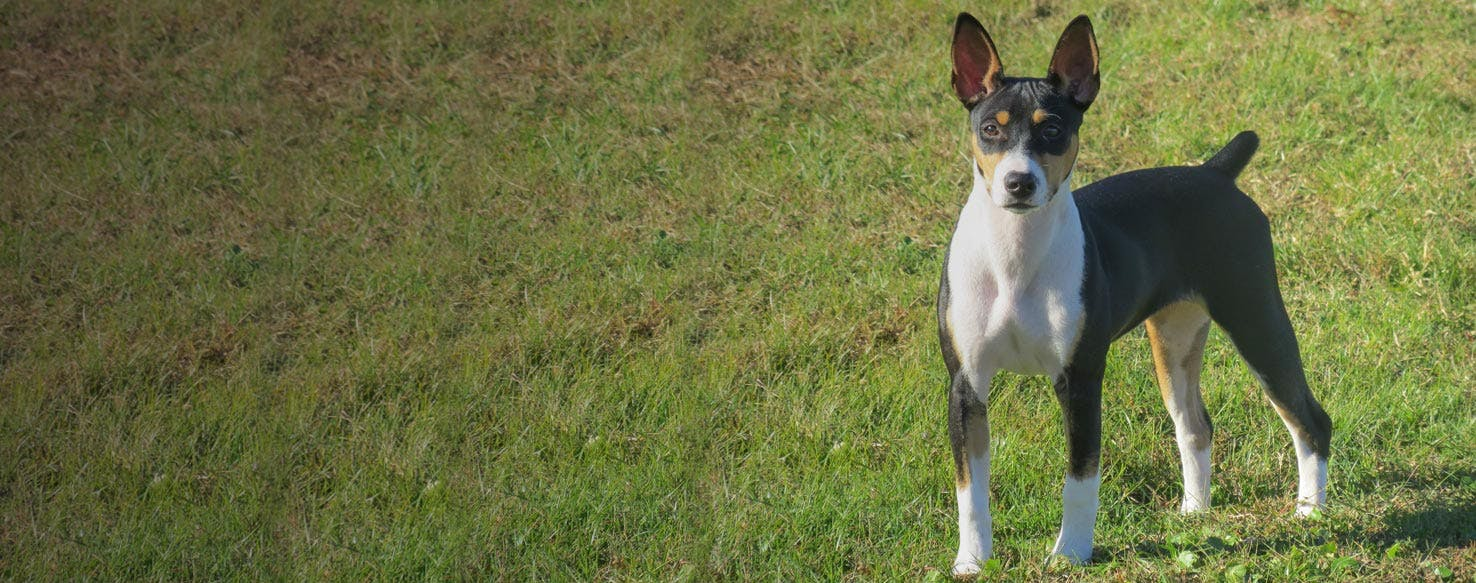 Decker Hunting Terrier   Dog Breed Facts and Information