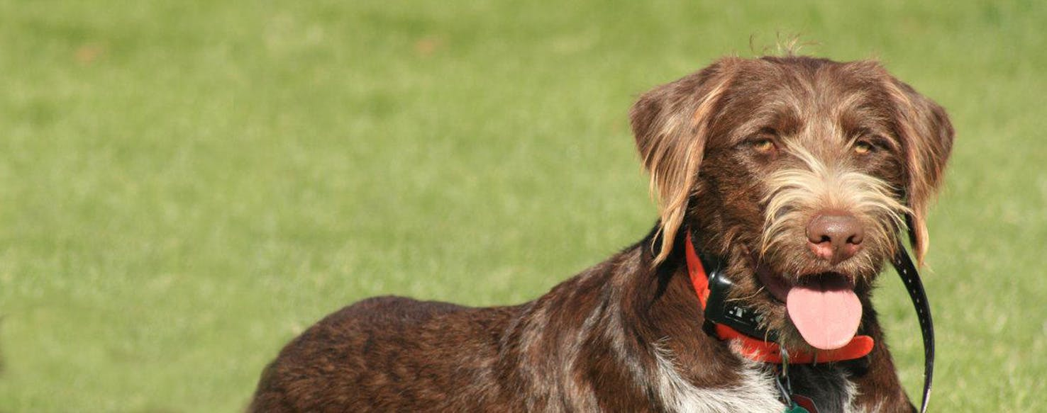 German Wirehaired Lab Dog Breed Facts And Information Wag Dog